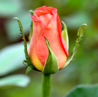 Cintrast Roses