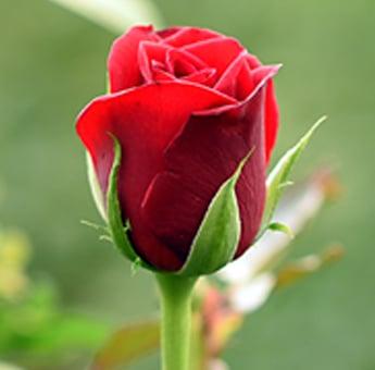 Top Secret Roses